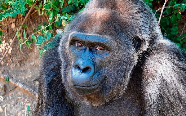 At 63, the oldest living western lowland gorilla in a zoo has died